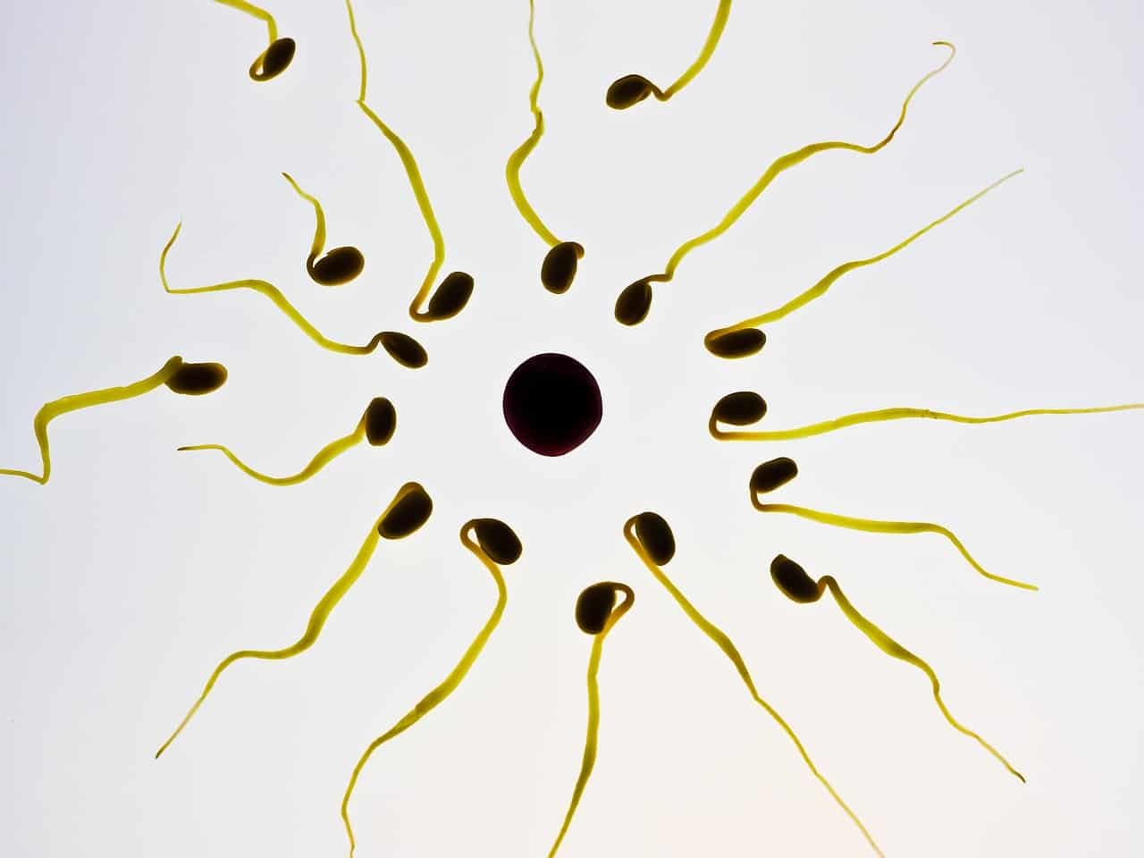 sperm cells microscope